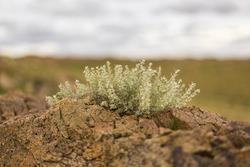 Flower Growing on Rocks in Gobi Desert