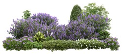 Flower Hedge isolated on white background. Garden design. Lilacs flowers and green plants for landscaping. High quality cutout for professional composition.