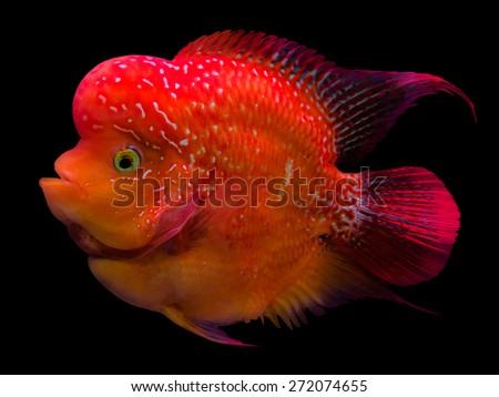 Flower horn Crossbreed Fish on black
