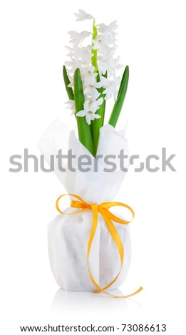 flower hyacinth in wrapping with bow isolated on white background