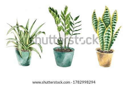flower in a pot hand draw watercolor. Sansevieria watercolor in a pot.  chlorophytum watercolor in a pot. zamioculcas watercolor in a pot.  houseplant