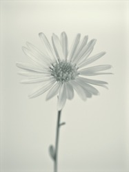 flower in black and white image, commom daisy flower plants and blurred background ,macro and old vintage style photo for card design