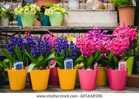 flower in pot , Beautiful street decorated with flowers in Japan , Beautiful flowers in pots on wooden table on natural background , Garden plants for sale  #605668580