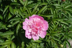Flower in the leafage of pink common peony in May
