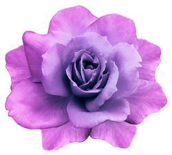 flower isolated  pink-purple rose on a white  background. Closeup. Element of design. Nature.