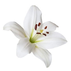 Flower light lily isolated on white background.