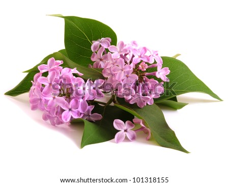 flower lilac isolated on white background - stock photo