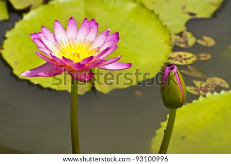 flower lotus and waterlily beautiful in nature [Square Size]