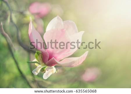 Flower Magnolia flowering against a background of flowers. Spring flower. #635565068