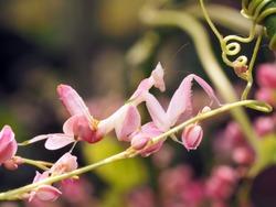 Flower Mantis, Walking Mantis, Orchid Mantis