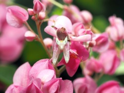 Flower Mantis, Walking Mantis, Orchid Mantis