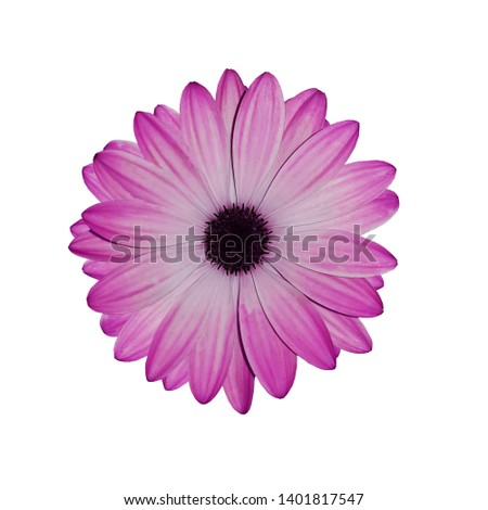Flower Marguerite africaine, Arctotis isslated on white background. flower with smooth pink petals like a daisy Stock photo ©