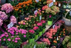 Flower market with various multicolored fresh flowers in pots. Red, pink,orange hydrangea, bellflower beautiful multilevel showcase