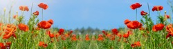 Flower meadow field background banner panorama - Beautiful flowers of poppies Papaver rhoeas in nature, close-up. Natural spring summer landscape with red poppies and blue sky