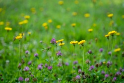 flower meadow with dandelions and blooming clover