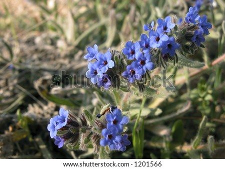 Veronica Flower Picture on Flower Name Is Germander Speedwell Or Veronica Chamaedrys Stock Photo