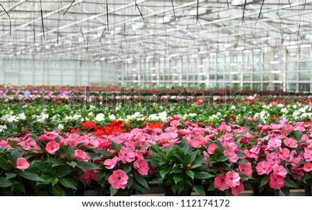 Flower nursery in Europe. Greenhouse with large variety of cultivated flowers.