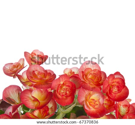 Flower of a begonia with water drops close up isolated on white background
