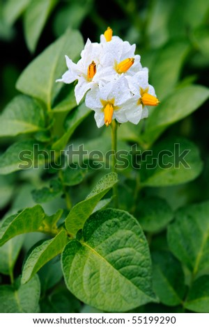 Flower of a blossoming potatoes plant