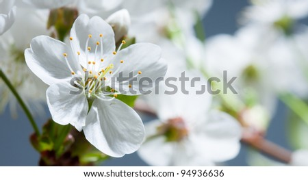 Flower of a cherry
