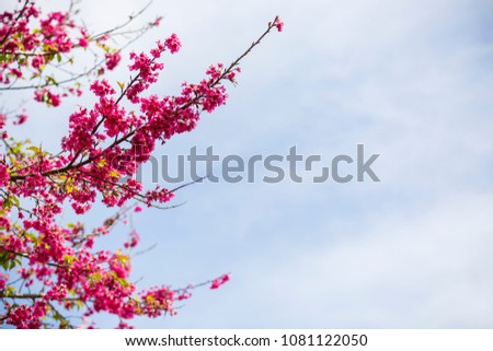 Flower of a cherry tree, Sakura Flower and the blue sky, Pink Flower, Sakura branch in springtime, nature background, Blooming pink Flower, copy space, Blooming Cherry blossom, selective focus