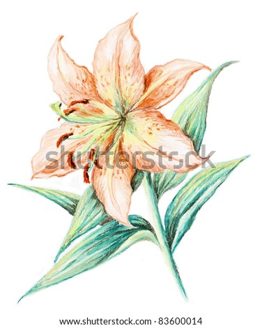 Flower of a lily. Picture, pastel, hand-draw on white paper