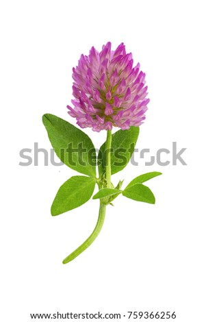 flower of a red clover clover with leaves and a stem close-up isolated on a white background #759366256