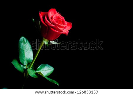 flower of a red rose