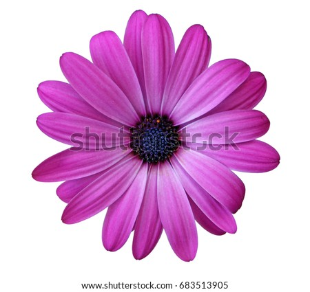 Flower of African daisy isolated on white background
