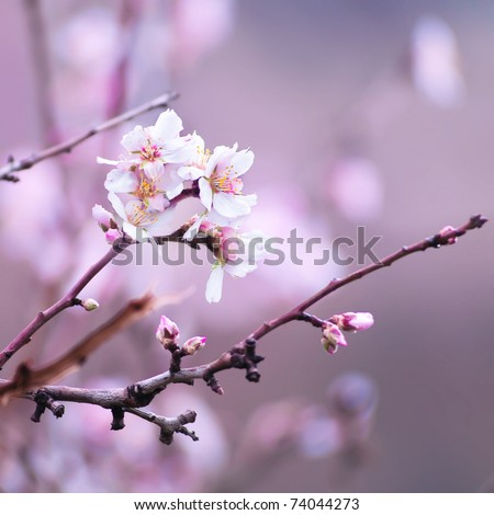 Flower of almond close-up