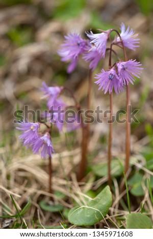 Flower of Alpine Snowbell #1345971608