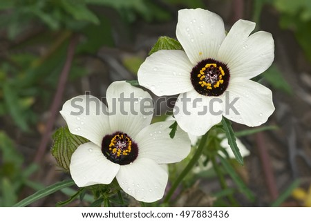 Flower-of-an-hour (Hibiscus trionum). Called Bladder hibiscus, Bladder ketmia, Bladder weed, Modesty, Puarangi, Shoogly and Venice mallow also