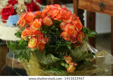 Flower of begônia planted, vase decorate to gift and decorate the environment #1451833967