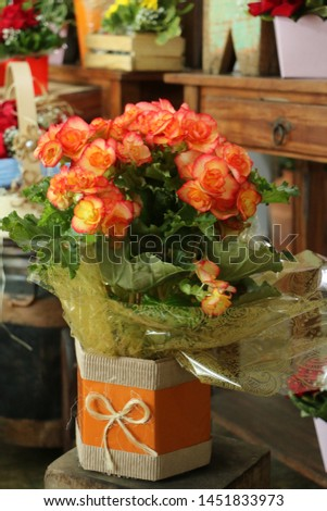 Flower of begônia planted, vase decorate to gift and decorate the environment #1451833973