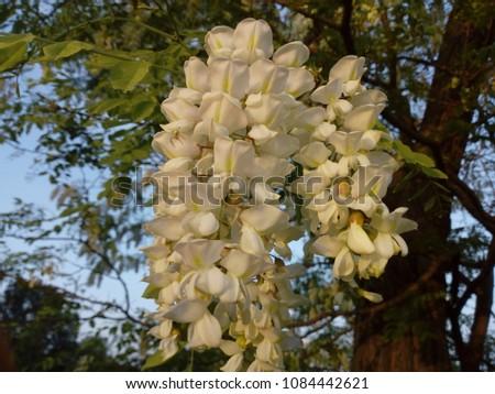 Flower of black locust - Fehér akác virág Stock fotó ©