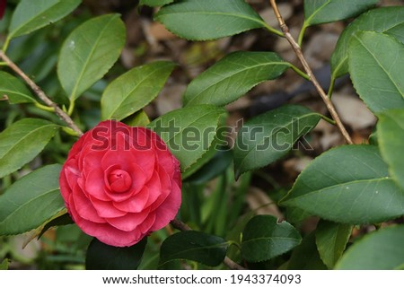 Flower of Camelia japonia (Theaceae) . Magenta red variety Zdjęcia stock ©