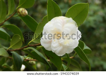 Flower of Camelia japonia (Theaceae) . White and pink variety Zdjęcia stock ©