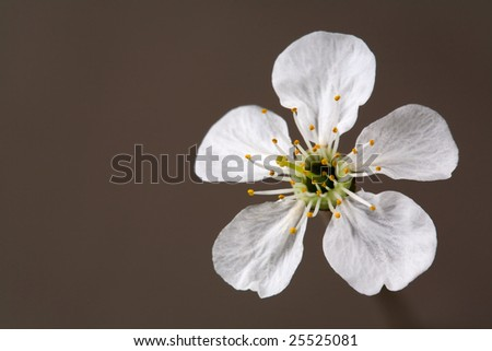 Flower of cherry tree at gray background