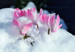 Flower of cyclamen,snow garden.
