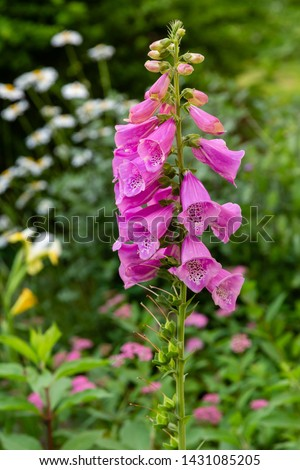 Flower of Digitalis Purpera, Foxglove in garden. Digitalis (digitalis) is a common decorative and medicinal plant, as well as a valuable honey plant.