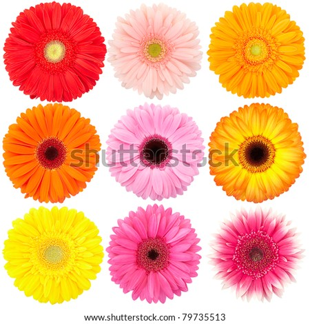 Flower of gerber daisy collection isolated on white