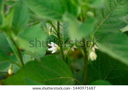 Flower of groundnut and green leaves.
