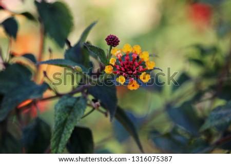 Flower of Lantana camara. Umbelanterna, also known as big-sage , wild-sage, red-sage, white-sage, tickberry, and West Indian lantana #1316075387