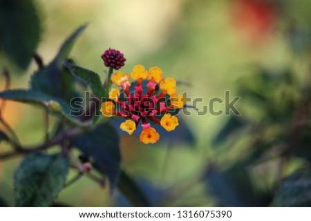 Flower of Lantana camara. Umbelanterna, also known as big-sage , wild-sage, red-sage, white-sage, tickberry, and West Indian lantana #1316075390