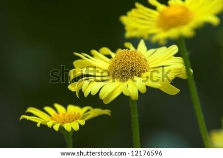 Flower of leopard's-bane