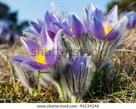 flower of pasqueflower