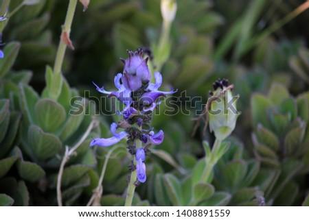 Flower of Plectranthus neochilus (lobster bush, fly bush, or mosquito bush) #1408891559