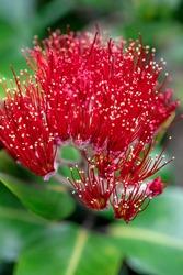 Flower of Pohutukawa tree. Close up shot