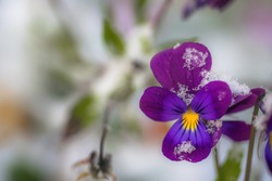 Flower of purple violet under snow in the garden in late fall close up.