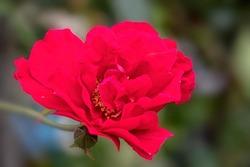 Flower of Rosa 'Raymond Chenault' in a garden in summer